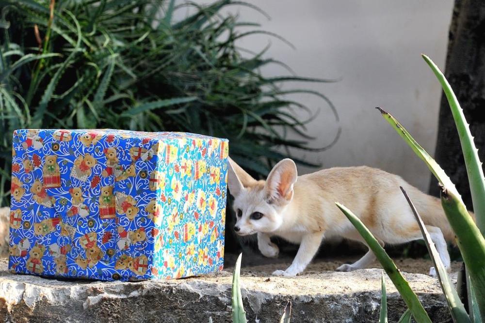 MDG_0811 alb FENNEC+pacco natalizio_bassa