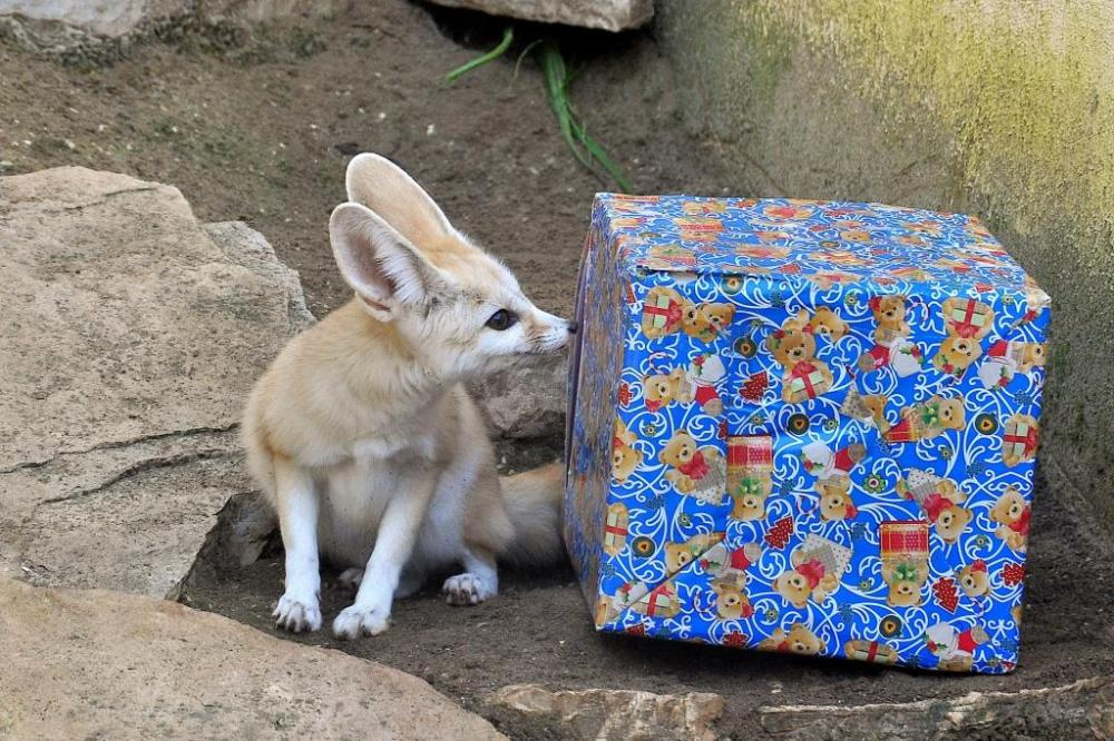 MDG_0931 alb FENNEC+pacco natalizio_ bassa
